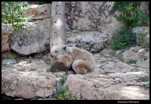 Syrian Brown Bear 17