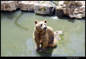 Syrian Brown Bear 18