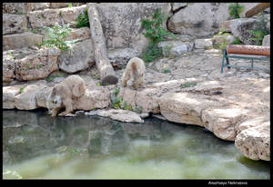 Syrian Brown Bears