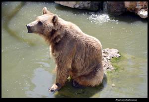 Syrian Brown Bear 19
