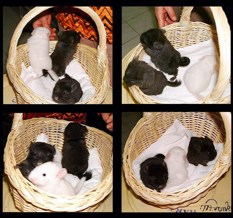 Basket of Chinchilla Babies by Villa-Chinchilla