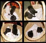 Basket of Chinchilla Babies