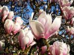 Magnolia Beauty by Villa-Chinchilla
