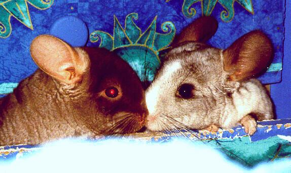 Chinchilla Friends