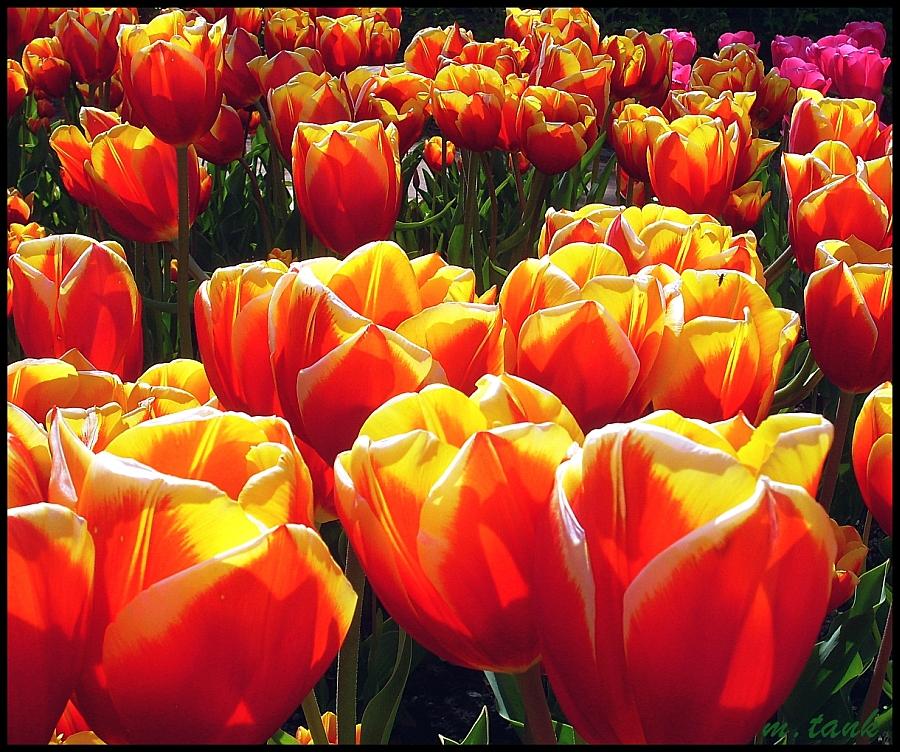 Perky Tulips by Villa-Chinchilla