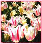 Sunnybright  Tulips