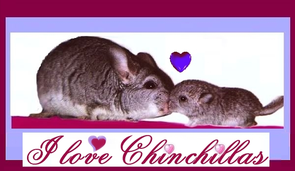 Chinchilla Baby + Daddy by Villa-Chinchilla
