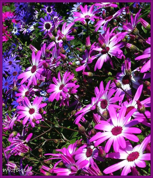 VIOLET - Page 3 Purple_and_pink_awakening_by_villa_chinchilla-d3k8x0w