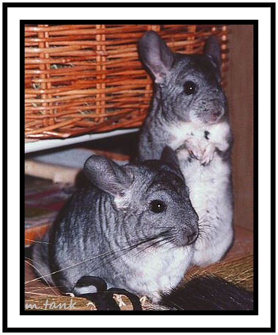 Chinchilla Posing by Villa-Chinchilla