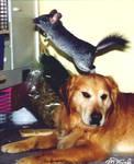 Chinchilla goes Dog-Jumping