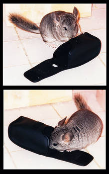 Chinchilla looking for the hidden camera