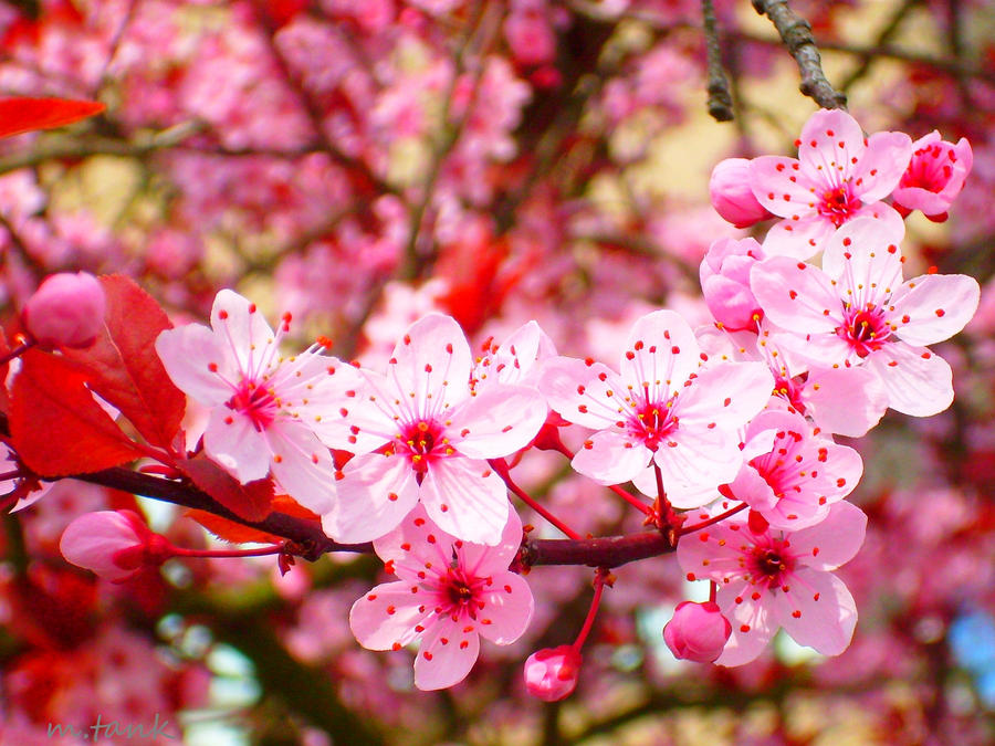 pink sakura blossoms by villa