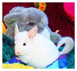 Chinchilla Cuddletime