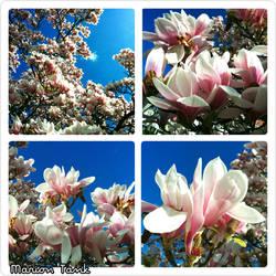 Magnolia Blossoms Spring 2016 by Villa-Chinchilla
