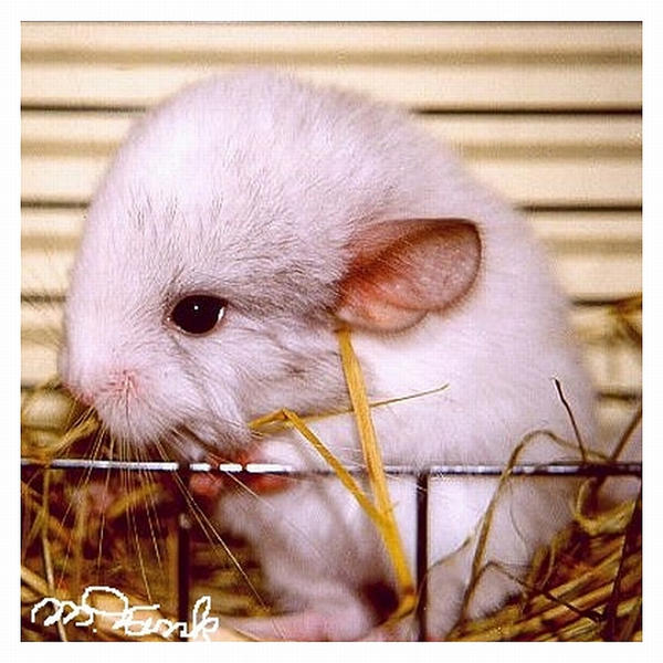 Meet my Chinchilla Picasso by Villa-Chinchilla