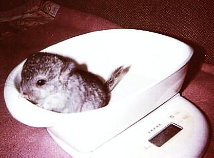 My Chinchilla gained weight