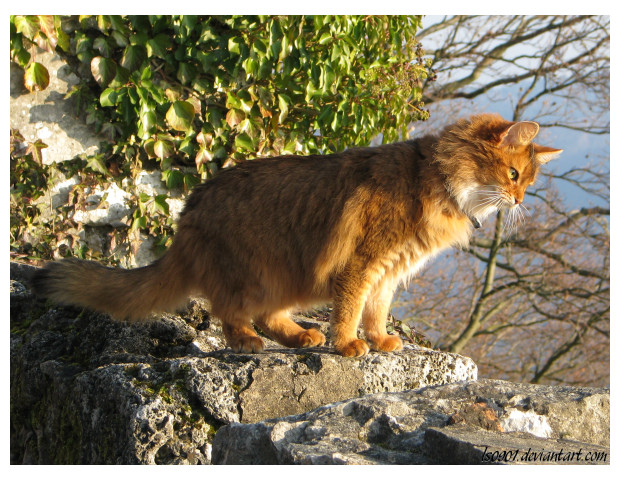 Somali cat II by LS0901