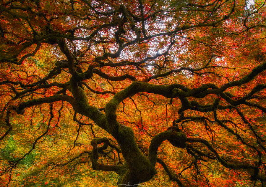 Japanese Maple by TahaElraaid