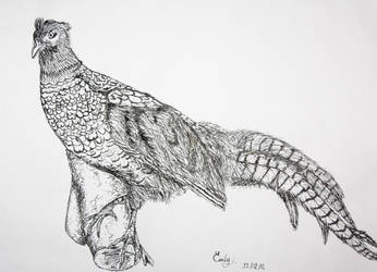 Study of a pheasant by HIDEmily