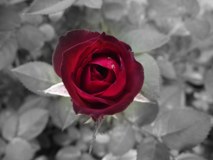 CVECE - Page 5 Rose_by_do_ra-d46vf9a