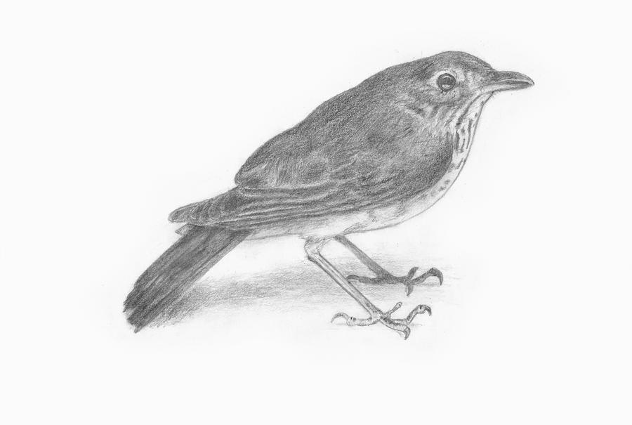 Pencil sketch bird by a x designs