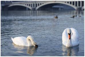 Swans by Oaken-shield