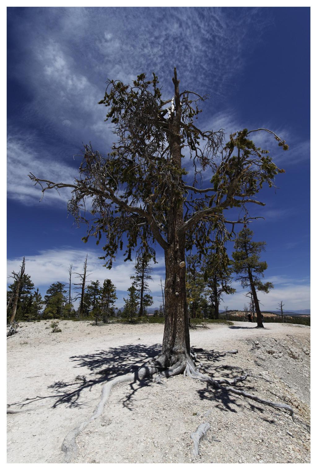 Bryce Tree by Oaken-shield
