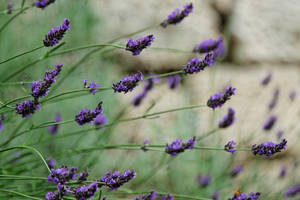 Lavenders by Oaken-shield