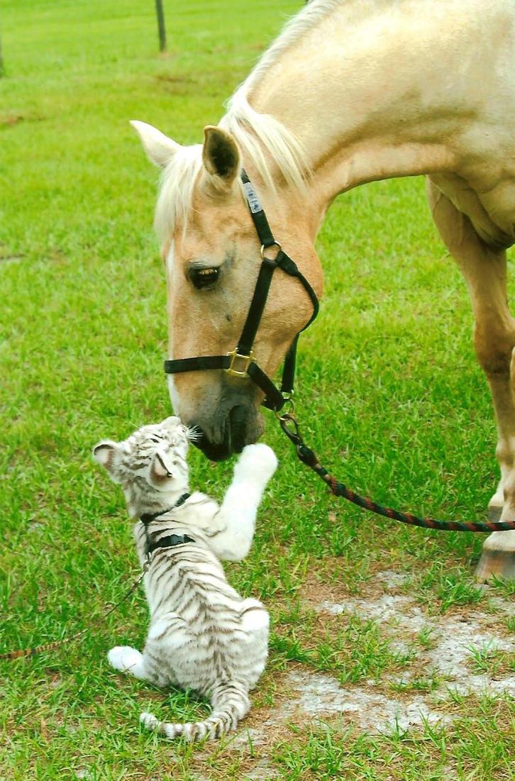 Tiger Tiger by R--o--x--a--s