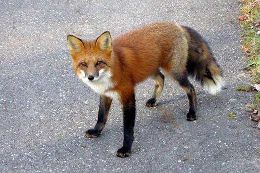 Fox-04