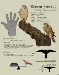 Common Kestrel fact sheet