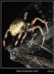 Black Swallowtail Catch