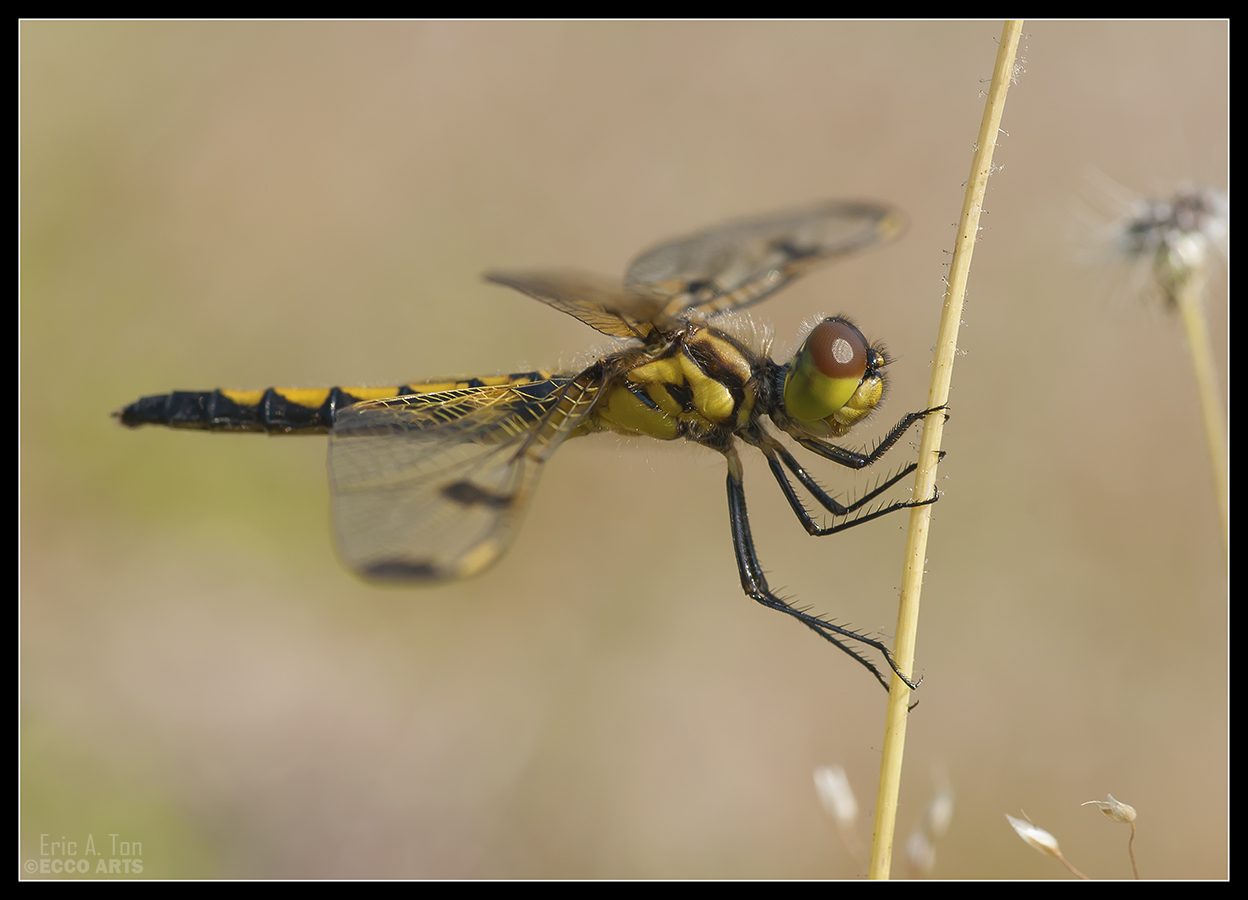 Small Yellow Dragonfly by Eccoton