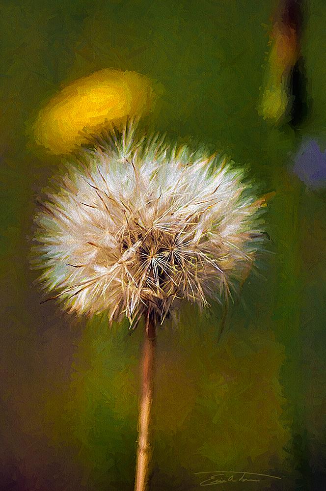 Dandelion by eccoarts