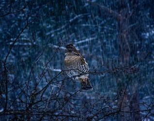Winter Grouse by OwlFeatherPhotos