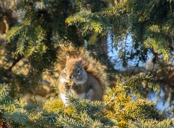 North American Red Squirrel by OwlFeatherPhotos