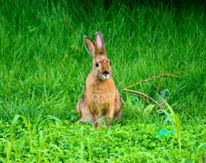 Snowshoe Hare (Summer Coat)
