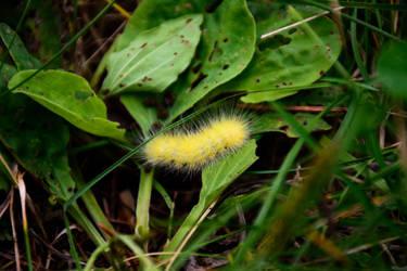 Yellow Woolly Bear Caterpiller
