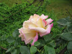 Rose Stock 10