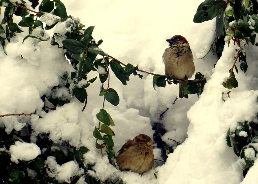 Sparrows by LuminitaLidia