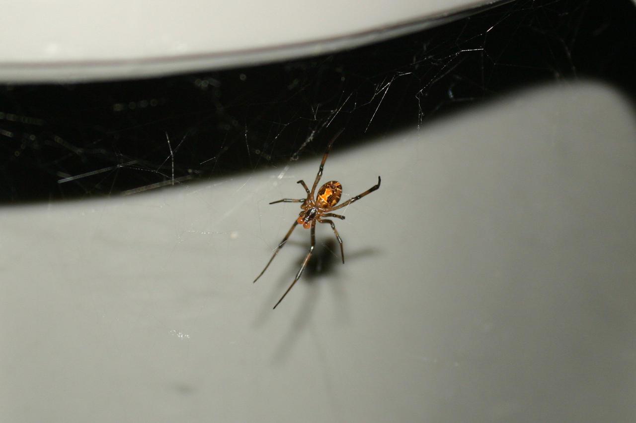 Black widow spider bite pictures