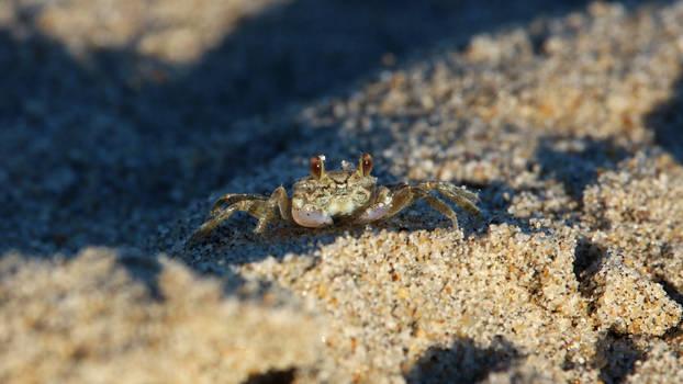 Sunset Sand Crab