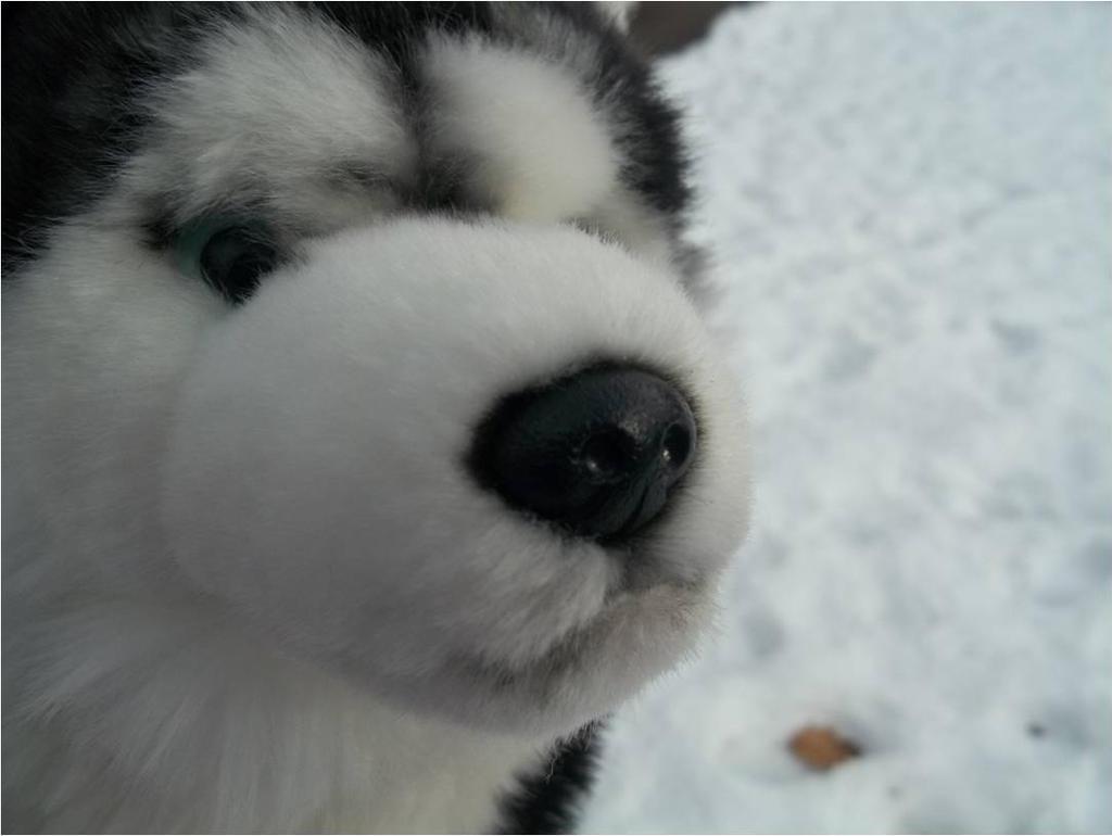 Webkinz Signature Siberian Husky by WinterWolf656 on