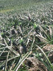 pineapple field by TillWolfster