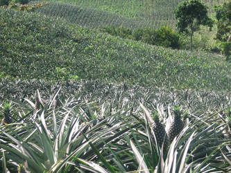 pineapple field 2 by TillWolfster