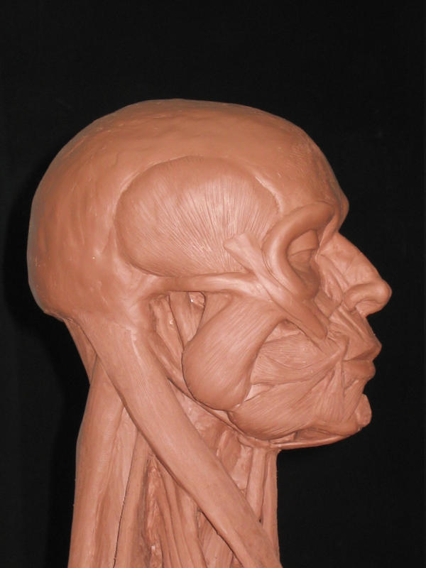 Anatomical Head Study - side 1 by AlfredParedes on DeviantArt