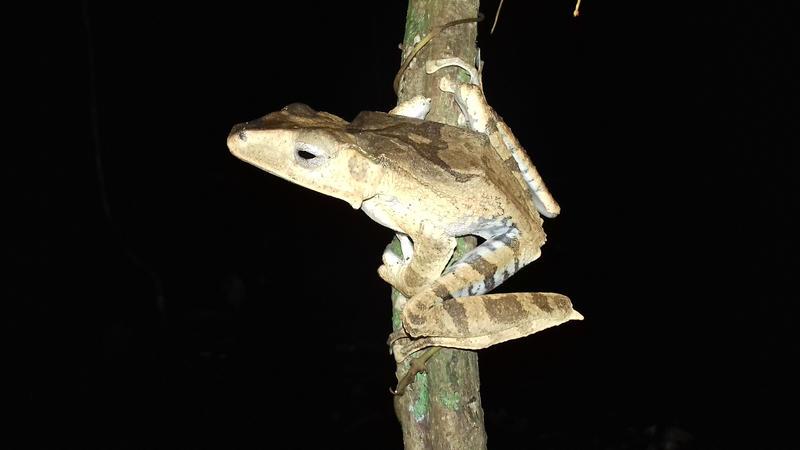 Bony-headed Flying Frog Polypedates otilophus by AnotherRaven