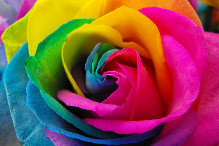 rainbow roses by surrender the booty on deviantart