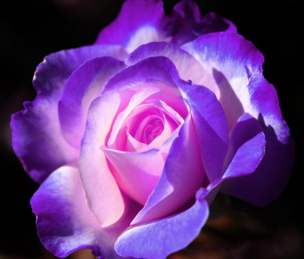 purple rose by ladyluna on deviantart, Beautiful flower