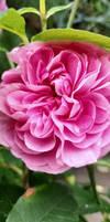 Old English Rose - Gertrude Jekyll